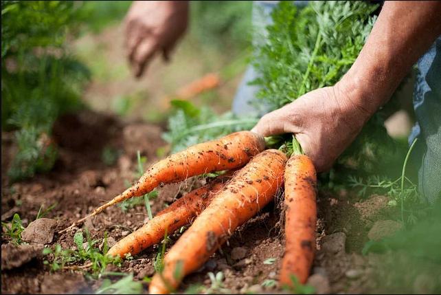 legatura morcovi proaspat recoltati