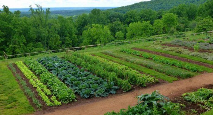 Culturile-succesive-si-asociate-de-legume
