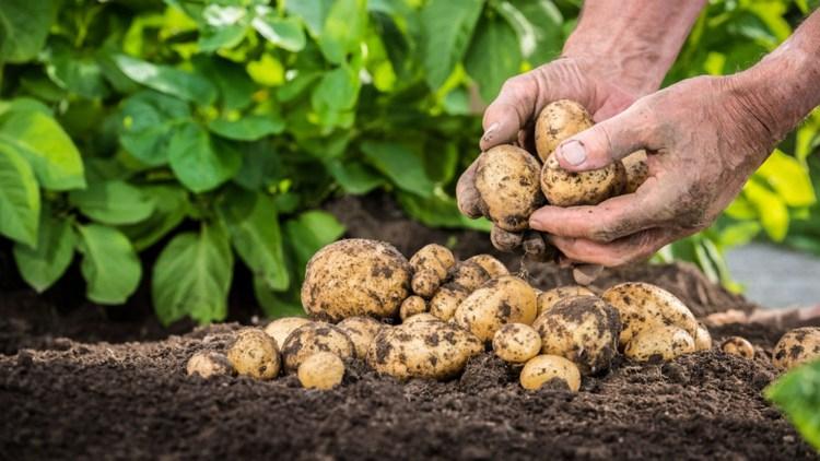 cultivare-cartofi